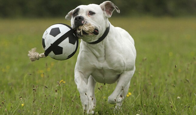 American Bulldog Playing With Soccer Ball Toy