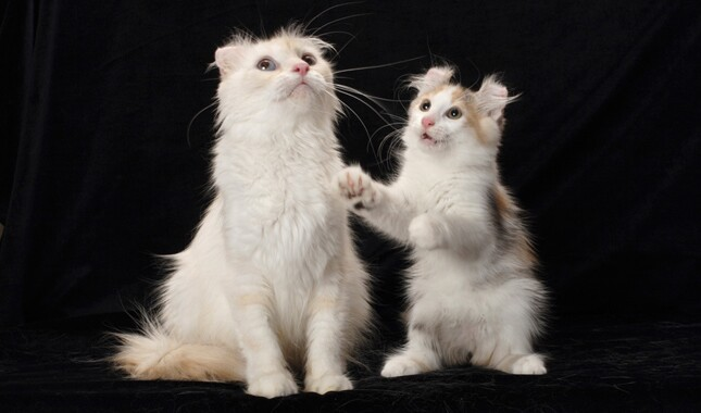 American Curl Cat and Kitten