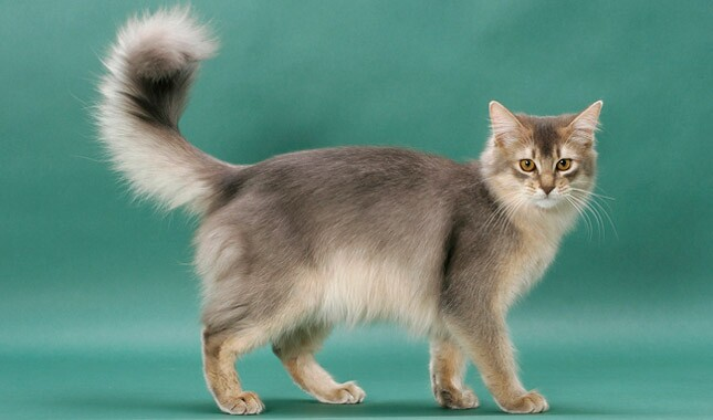 Somali Cat Breed Information