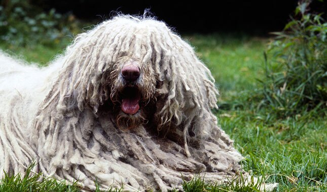 Komondor dog