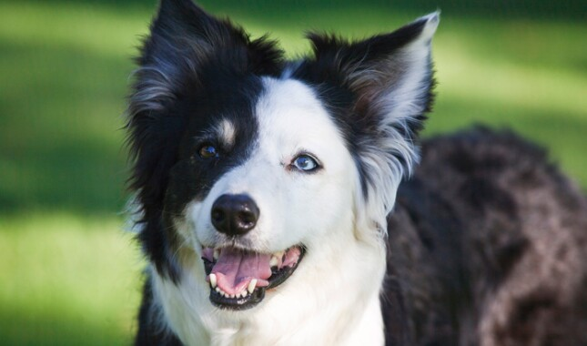 Black and White Border Collie Closeup