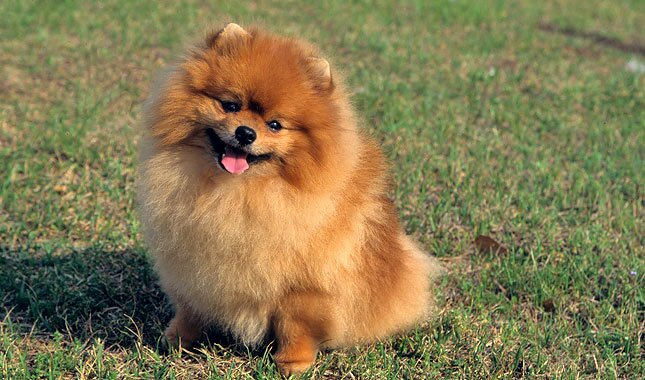 pomeranian intelligence pomeranian breed information 627