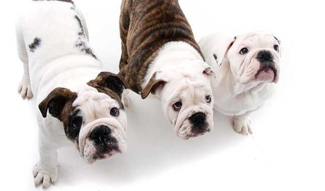 Three American Bulldogs