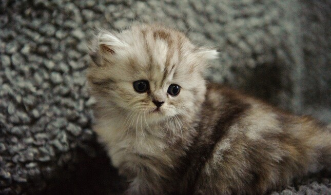 Small Scottish Fold Kitten