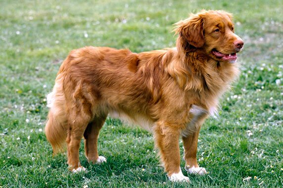 Nova Scotia Duck Tolling Retriever Dog Breed Information