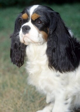 Cavalier King Charles Spaniel Dog Breed