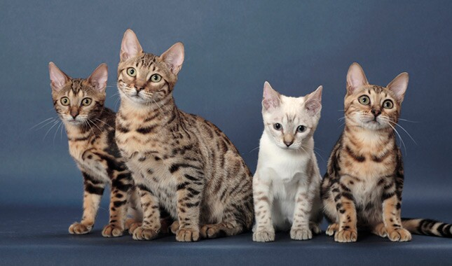 Bengal Cat Adoption Canada