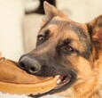 Dog Stealing Shoe