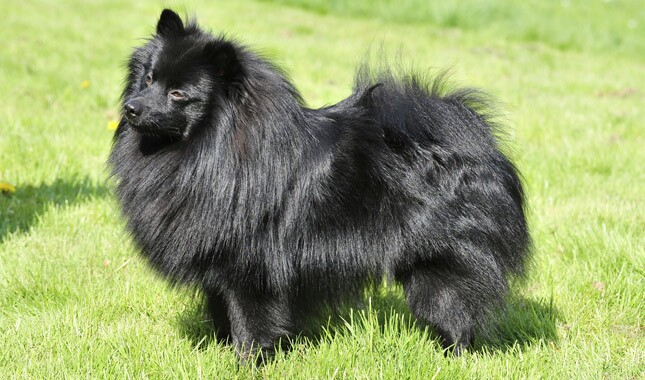 Black German Spitz Standing on Grass