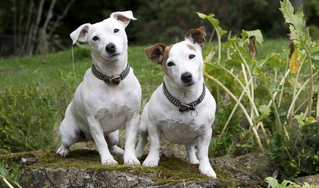 Two Jack Russell Terrier Dogs Sitting in Garden