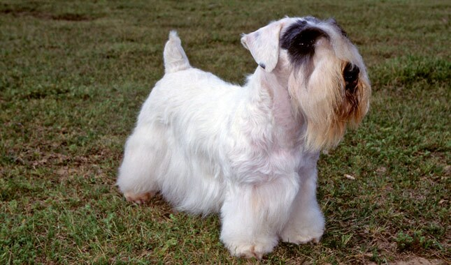 Sealyham Terrier Dog Breed
