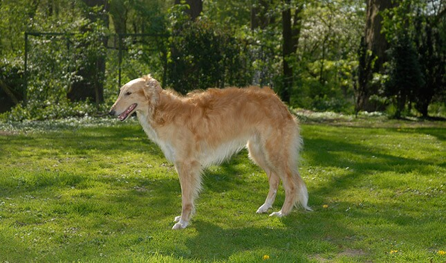 Silken Windhound Dog Breed