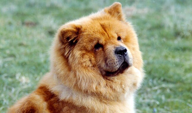 Chow Chow dog face