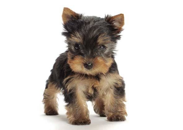 Does Male Or Female Dog Determine Color Of Puppies