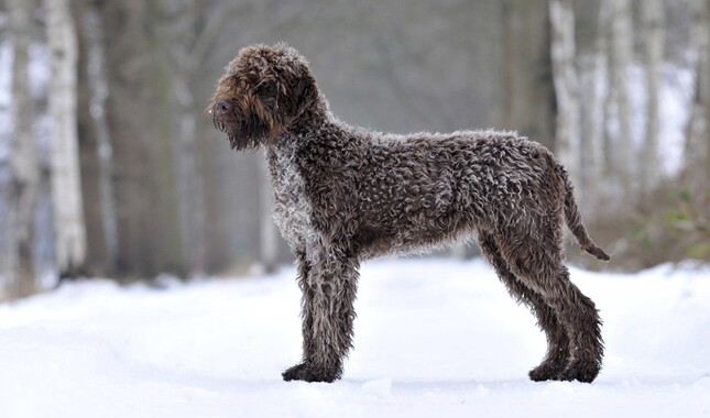Lagotto Romagnolo Side View in Snow