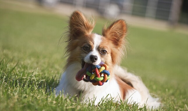 Papillon chewing a toy