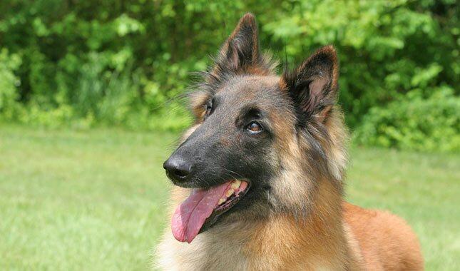 Belgian Tervuren dog