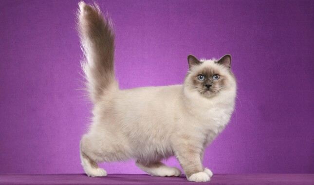 Birman Side View