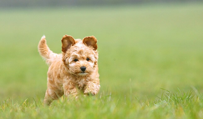 Cockapoo dog running