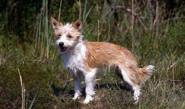 Portuguese Podengo Dog Breed
