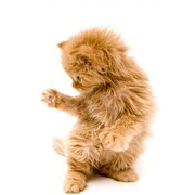 Orange kitten playing