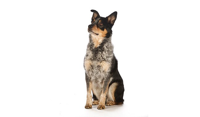 Australian Cattle Dog Breed Information