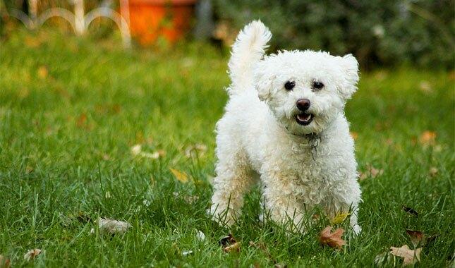 Lhasapoo Dog Breed