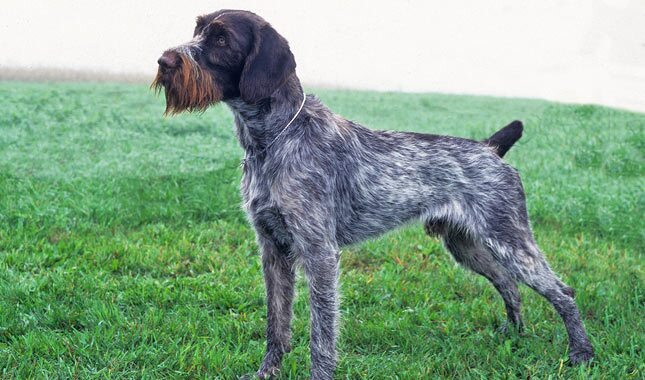 German Wirehaired Pointer Breed Information  Black German Wirehaired Pointer