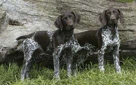 Two German Shorthaired Pointers Outdoors