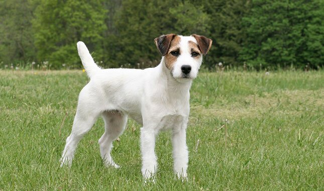 Jack Russell Terrier - The Fox Hunter