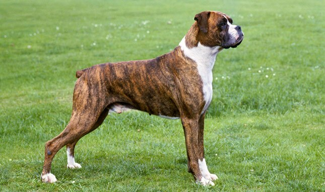 Boxer Dog Breed