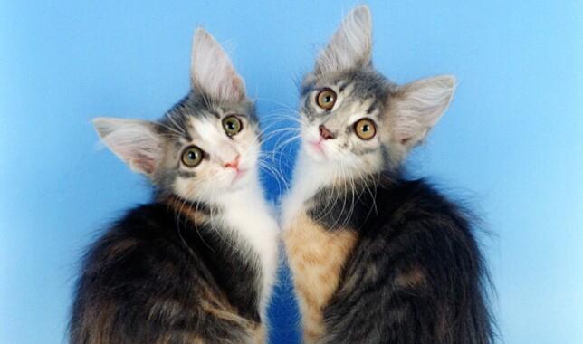 Two Javanese Kittens