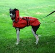 Dog wearing raincoat
