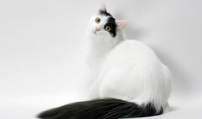 Black and White Turkish Van