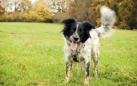 Sprollie - Collie English Springer Spaniel Cross on Grass