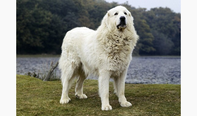 Great Pyrenees Standing Outdoors by Lake