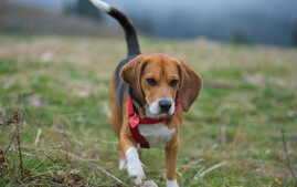 Beagle dog breed walking