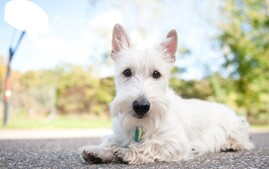 Scottish Terrier puppy lying on driveway