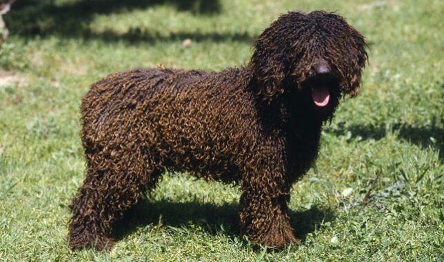 Brown Spanish Water Dog in Grass