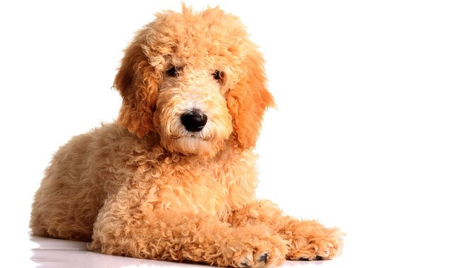 Goldendoodle Breed Information