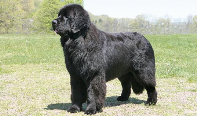 Newfoundland Dog Breed