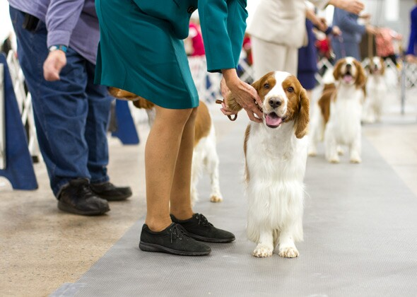 National Dog Show Breed Ring Judging