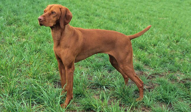 Vizsla Dog Breed