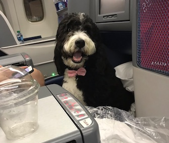Charlie, a Bernese Mountain Dog and Poodle mix, caused a stir on Twitter after she was seated next to NBC pundit Mark Halperin on a Delta flight.