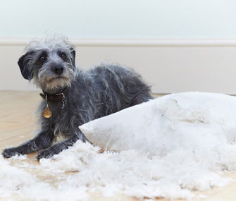 Dog destroying pillow