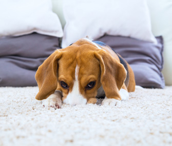 Beagle Burying Nose In Carpet